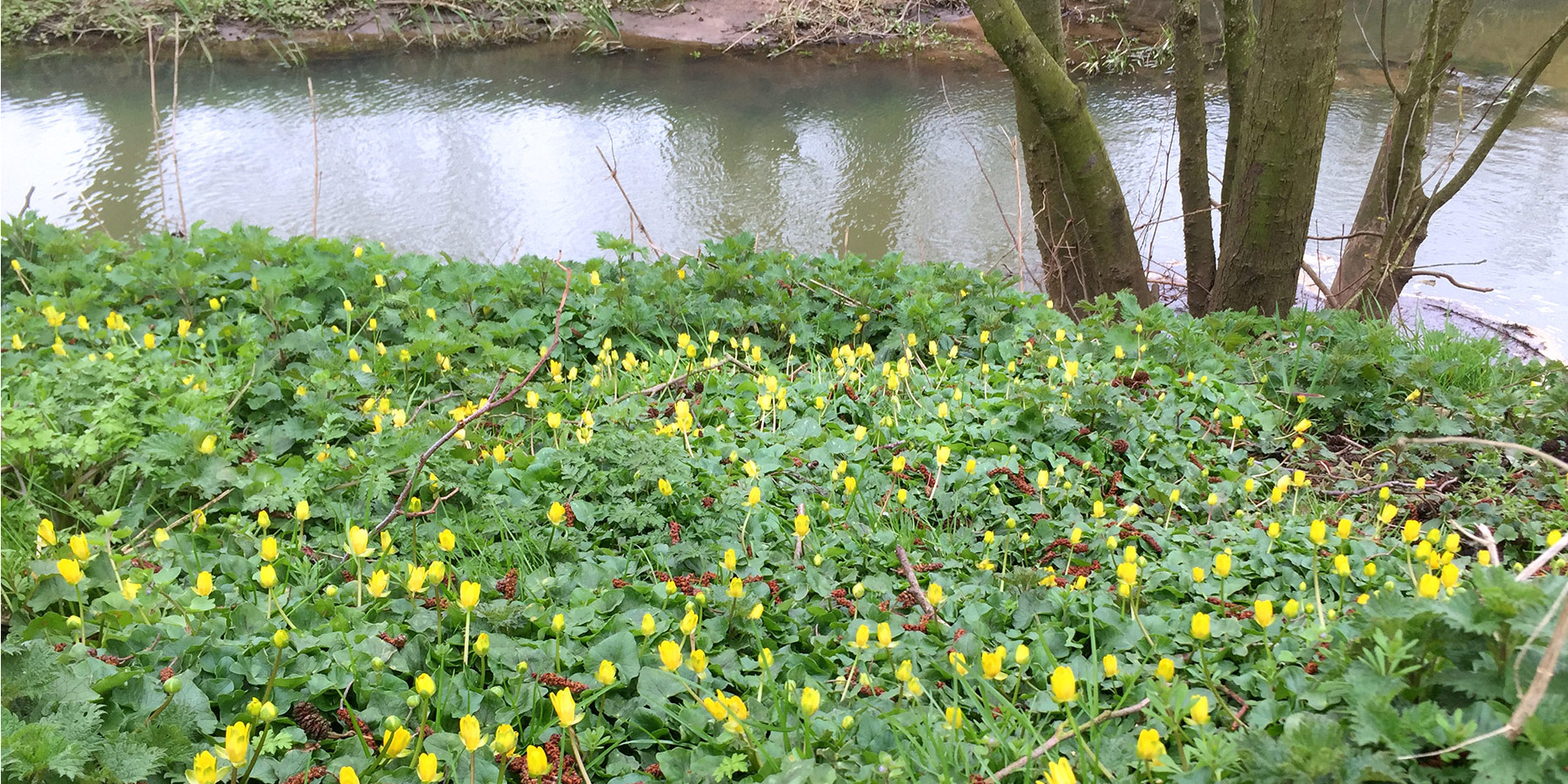 Mile 25 by Marion Gaze banks of the River Blythe covered in carpet of green plants with yellow flowers