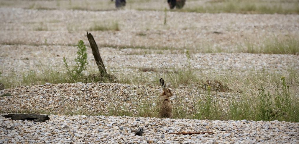 Hare on Orford Ness