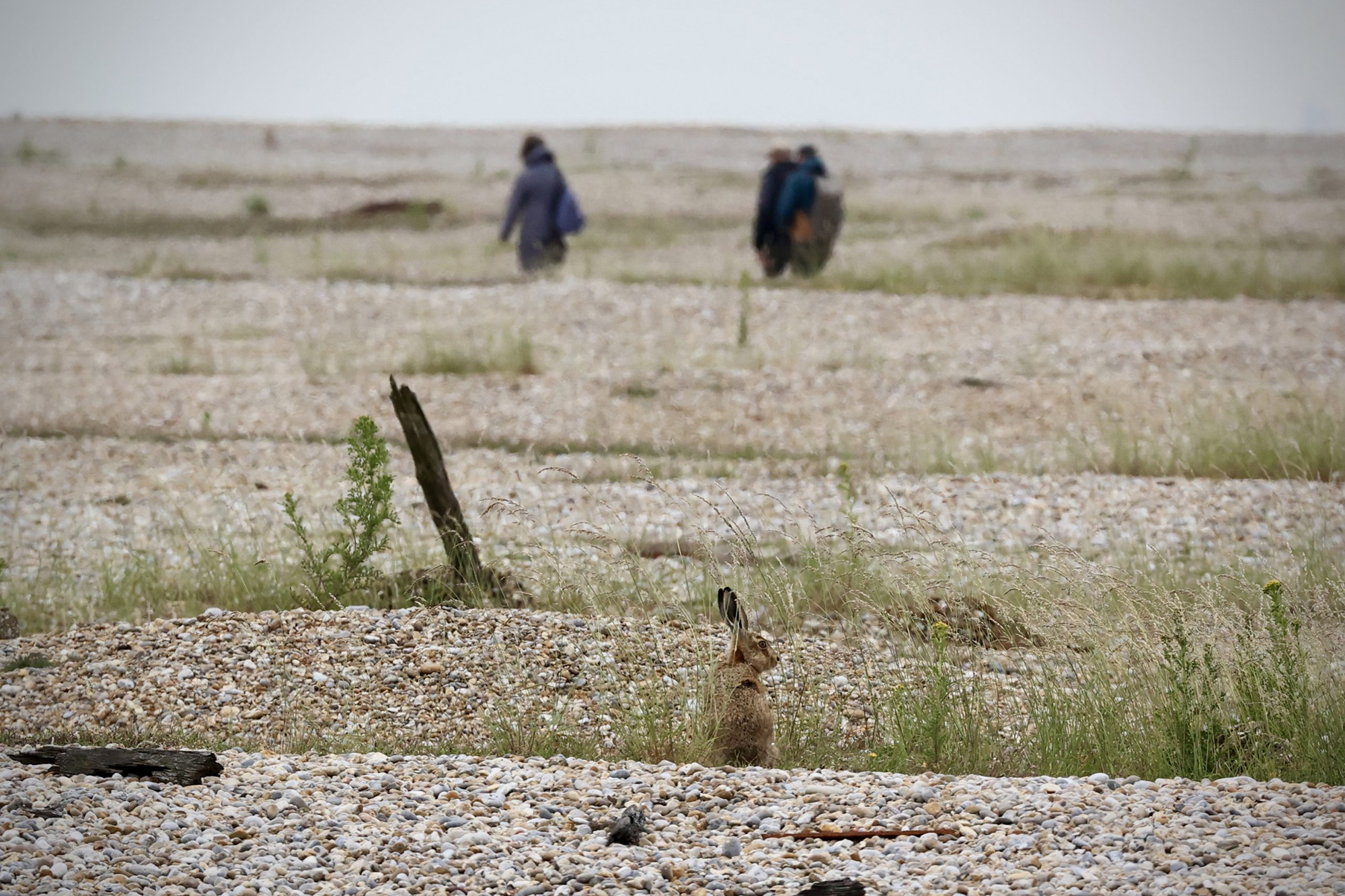 Hare on Orford Ness credit Kevin Rushby