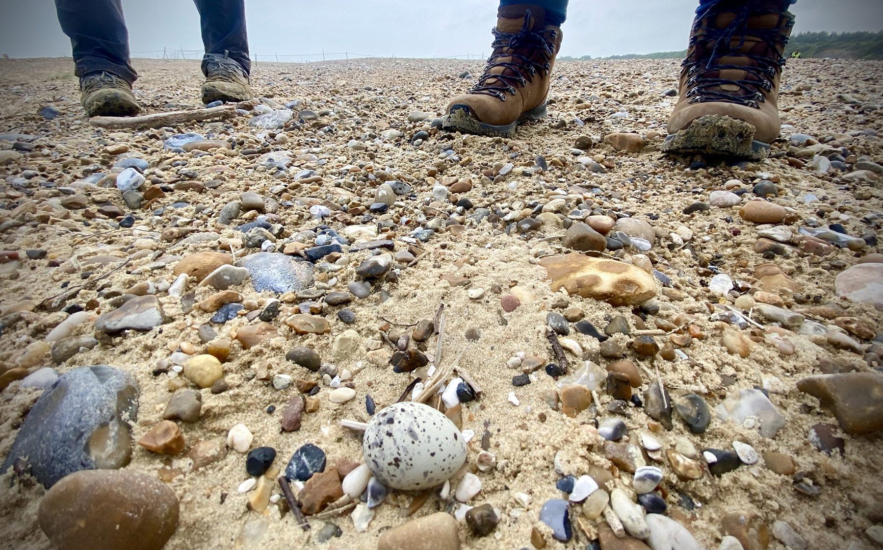 Tern egg on shingle beach at Kessingland