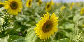 Sunflowers near Mucking credit Kevin Rushby