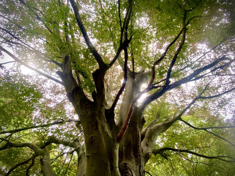 beech tree on Langdon Hills